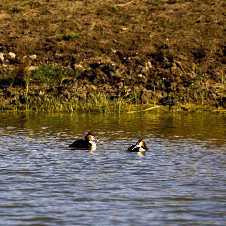 Anatre che nuotano al lago pozzillo